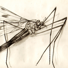 Mosquito - drawing